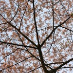 cherry blossoms washington dc 2010