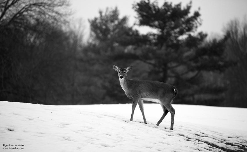 Algonkian en invierno