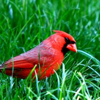 photo of cardinal by lucuella