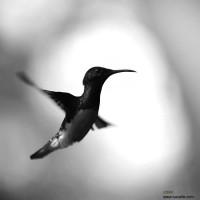 colibri-by-lucuella