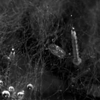 Zancudos (larvas)