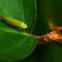 bug-lucuella-macro
