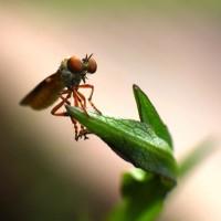 mosquito-macro-lucuella