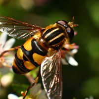 Abeja - bumble bee - polinizando (macro)