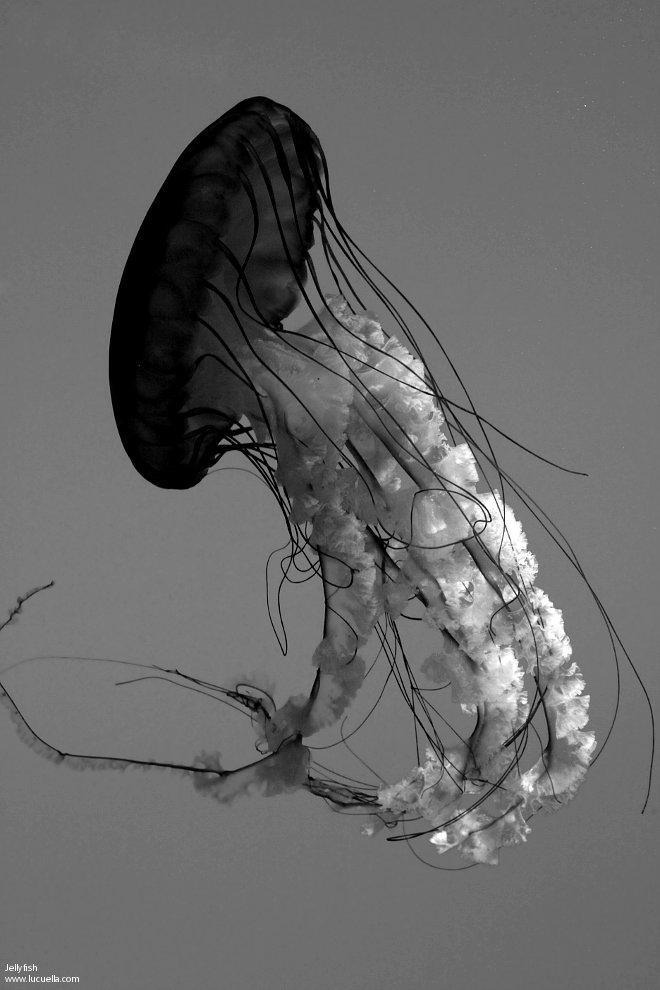 Medusas (Jellyfish) Baltimore Aquarium