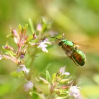 abeja en vuelo (macro)