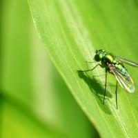 mosca (macro)